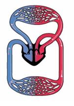 Hệ tuần hoàn của Thỏ