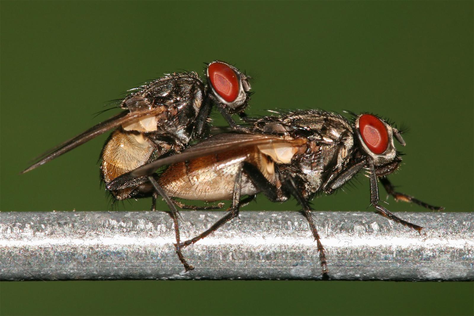 Thụ tinh trong ở ruồi