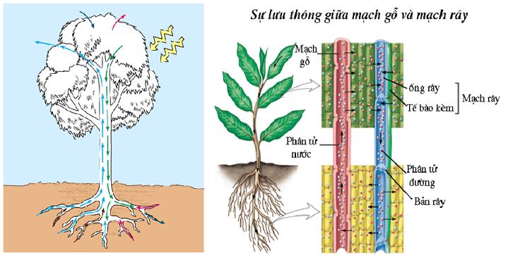 Sự lưu thông giữa mạch gỗ và mạch rây