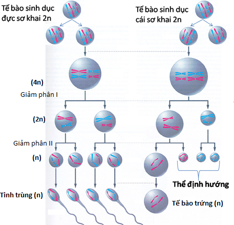 Quá trình hình thành tinh trùng và trứng