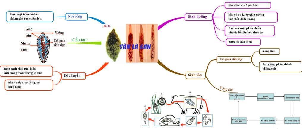 Sơ đồ tư duy tổng kết về sán lá gan