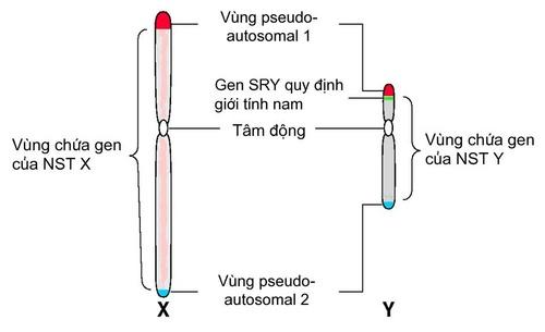 Cấu trúc của NST giới tính