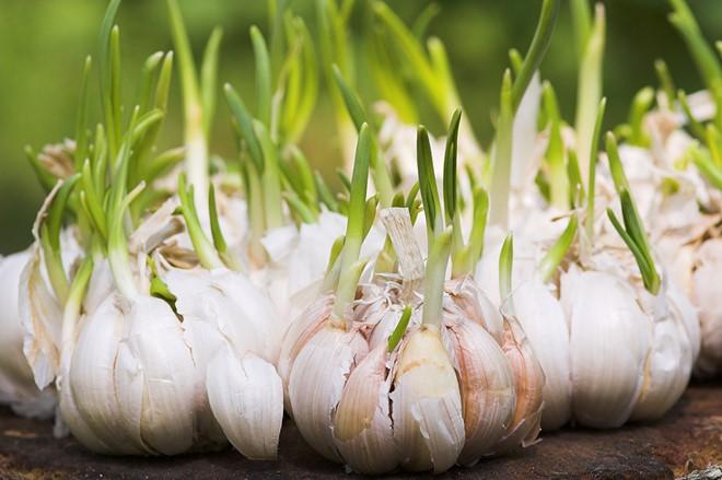 sinh sản sinh dưỡng ở thực vật thân củ