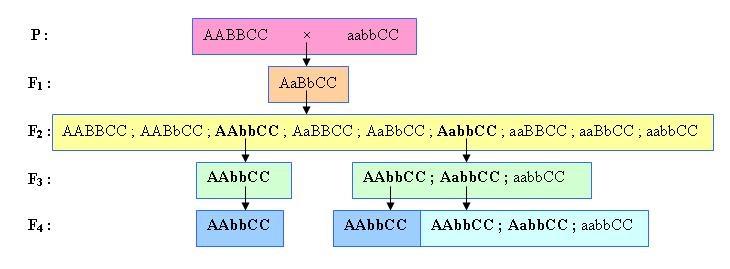 Sơ đồ lai minh hoạ quá trình chọn lọc các tổ hợp gen mong muốn