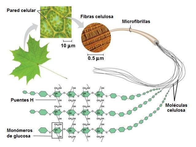 Cacbohyđrat tham gia cấu tạo nên tế bào