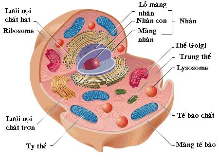 Cấu trúc tế bào động vật