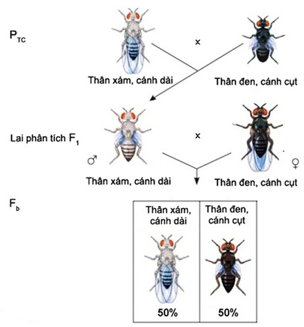 Thí nghiệm lai phân tích ruồi giấm đực F1