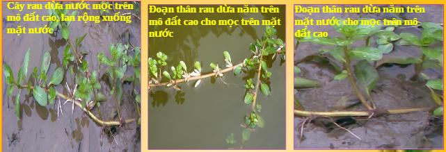cây rau dừa nước trồng ở các môi trường khác nhau