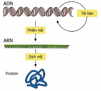Quá trình tổng hợp protein