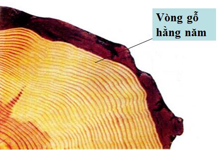 Vòng gỗ hàng năm