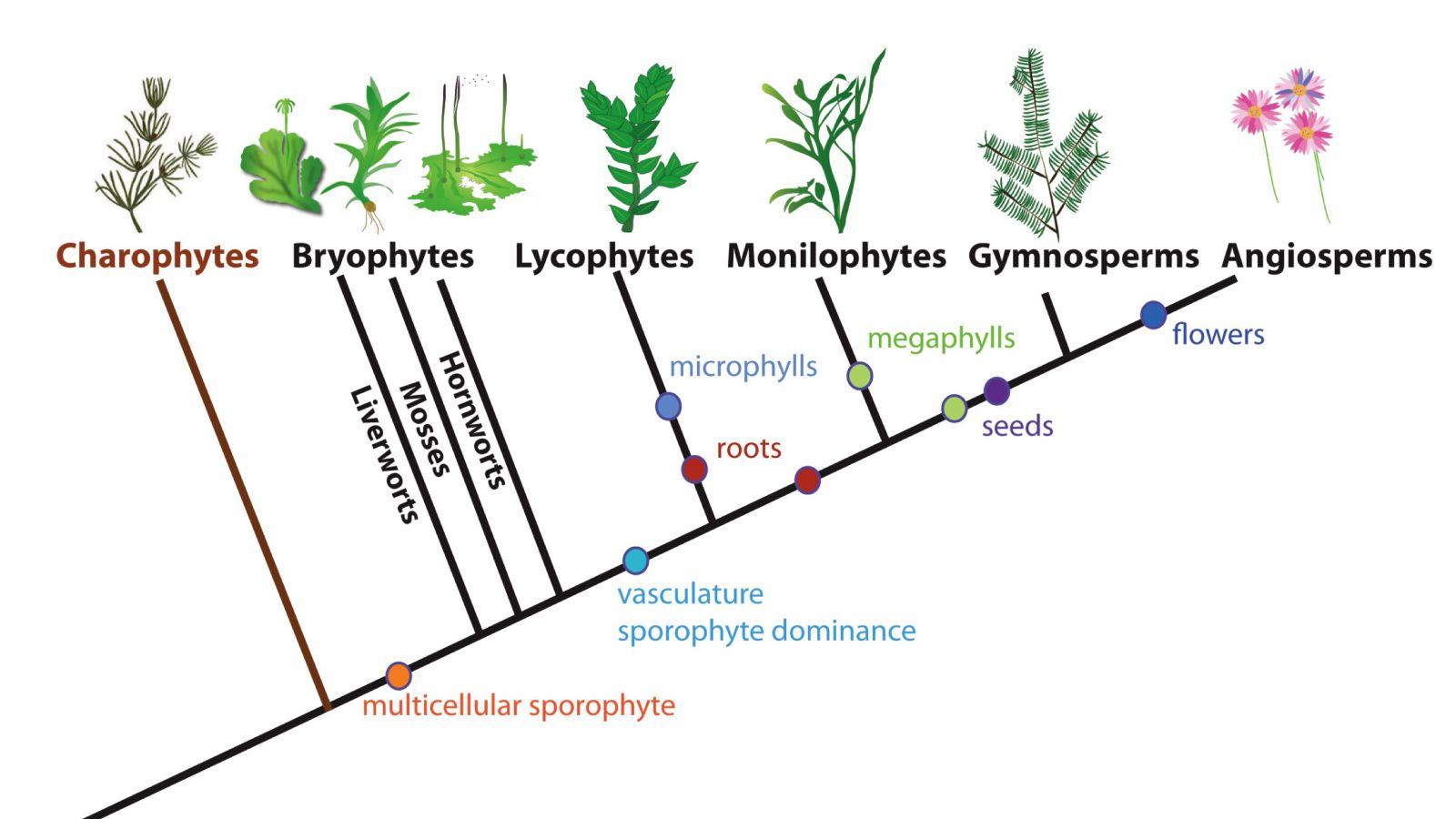 Cây phát sinh giới thực vật