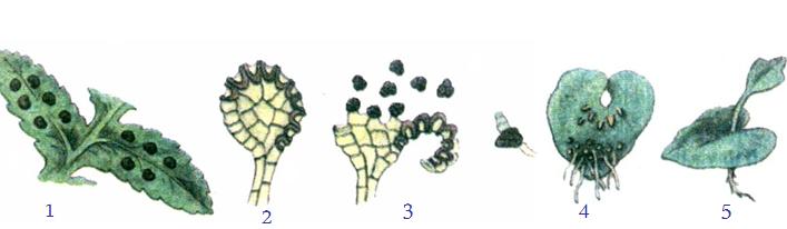 Túi bào tử và sự phát triển của dương xỉ