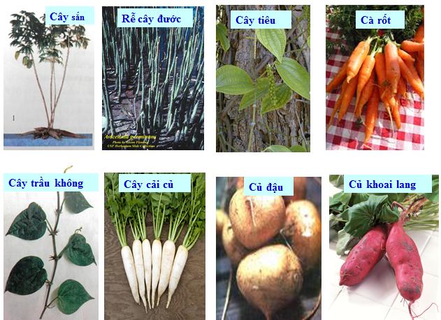 Một số loại rễ biến dạng