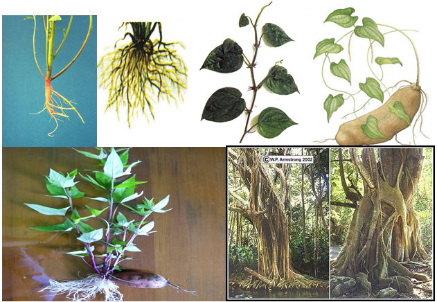 Các dạng rễ của thực vật
