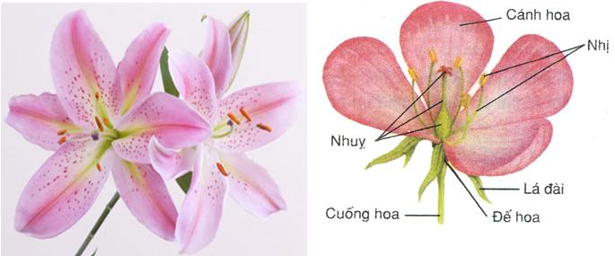 Sơ đồ cấu tạo của hoa