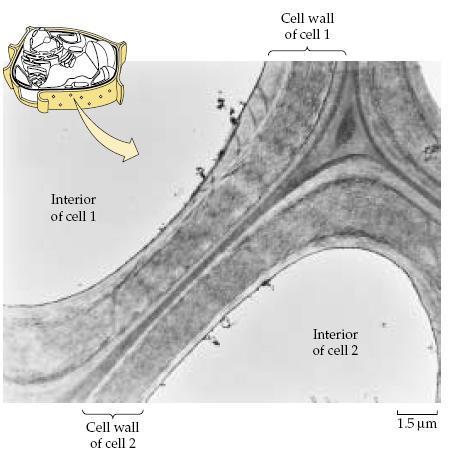 Thành tế bào
