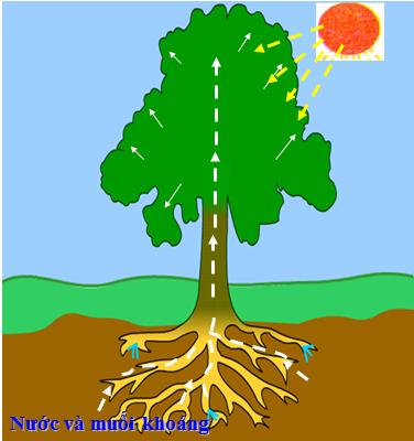 ý nghĩa của sự thoát hơi nước ở lá