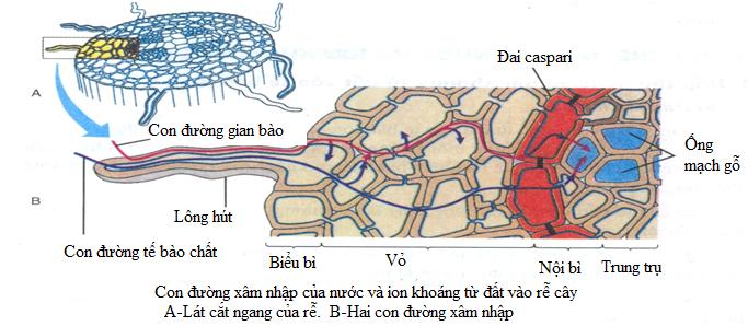Con đường xâm nhập của nước và ion khoáng từ đất vào rễ cây