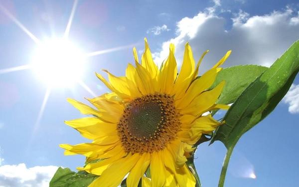 Cây hoa hướng dương luôn hướng về phía mặt trời