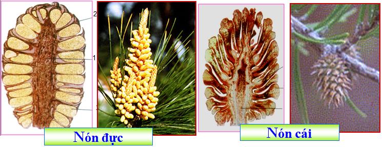 Cơ quan sinh sản của cây thông