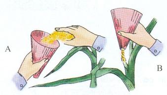 Thụ phấn bổ sung cho ngô