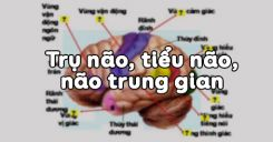 Bài 46: Trụ não, tiểu não, não trung gian