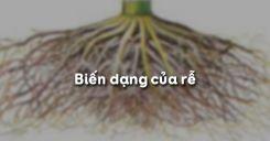 Bài 12: Biến dạng của rễ