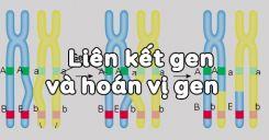 Bài 11: Liên kết gen và hoán vị gen
