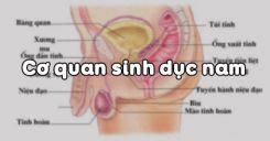 Bài 60: Cơ quan sinh dục nam