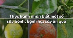 Bài 12: Thực hành nhận biết một số sâu bệnh, bệnh hại cây ăn quả