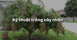 Bài 8: Kỹ thuật trồng cây nhãn